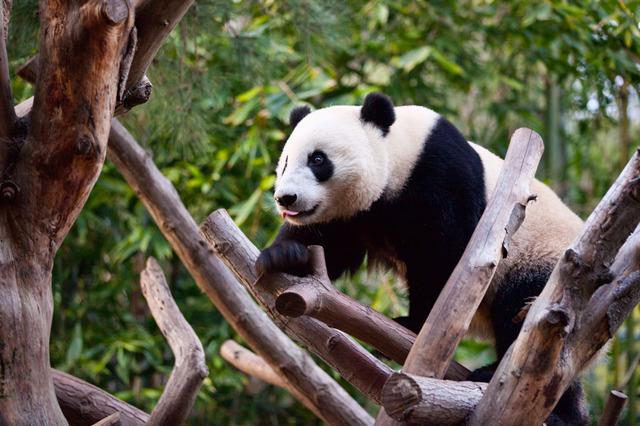 Panda!, San Diego Zoo