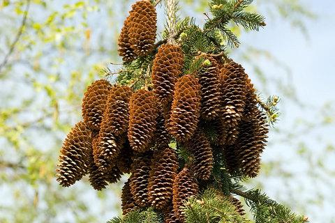 Cone Cluster