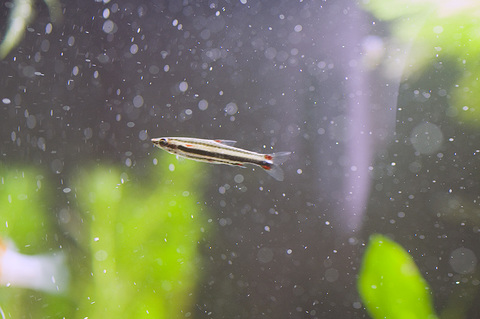 Three-Striped Pencilfish