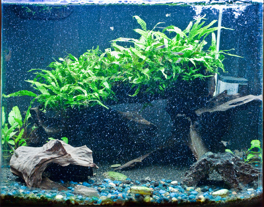 Freshwater aquarium fish bottom dwellers - For The Past Few Months The Sole Remaining Hearty Souls Remaining In The Nanocube Were All Bottom Dwellers 4 Yoyo Loaches 2 True Siamese Algae Eaters